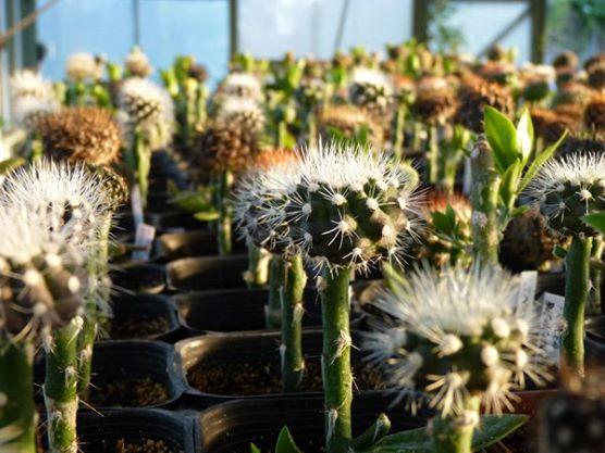 spiniflores (1)