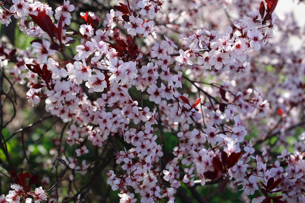 plum-tree-flower
