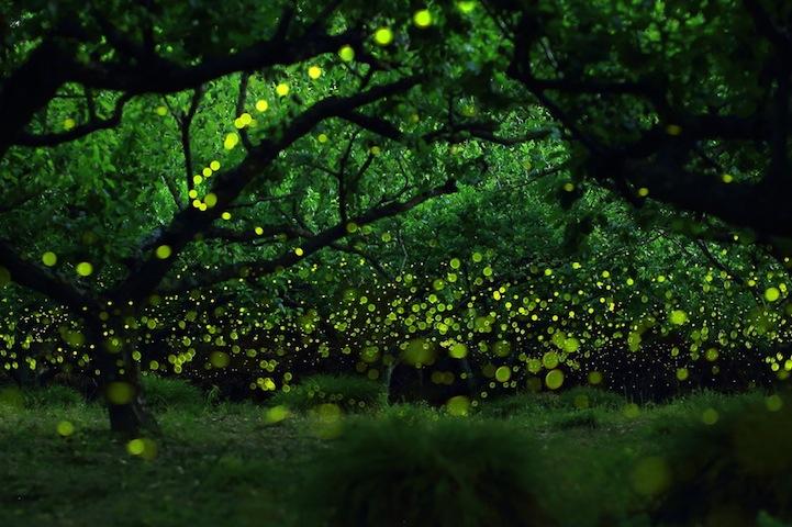 La mágica Danza luminosa de las Luciérnagas