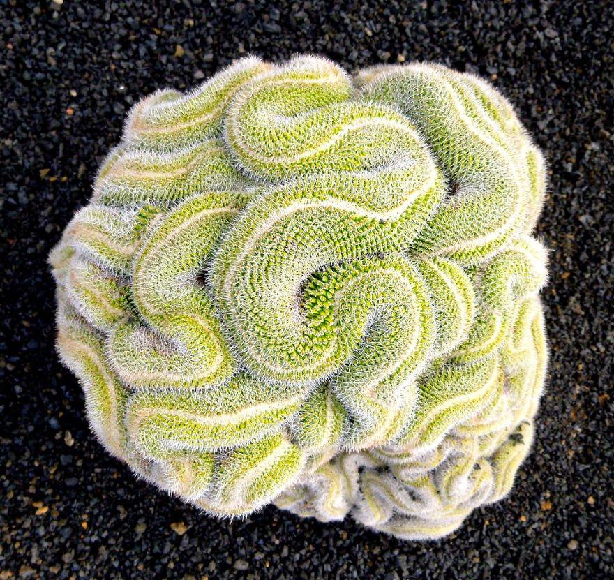 11-mammillaria-geminispina-o-cactus-cerebro