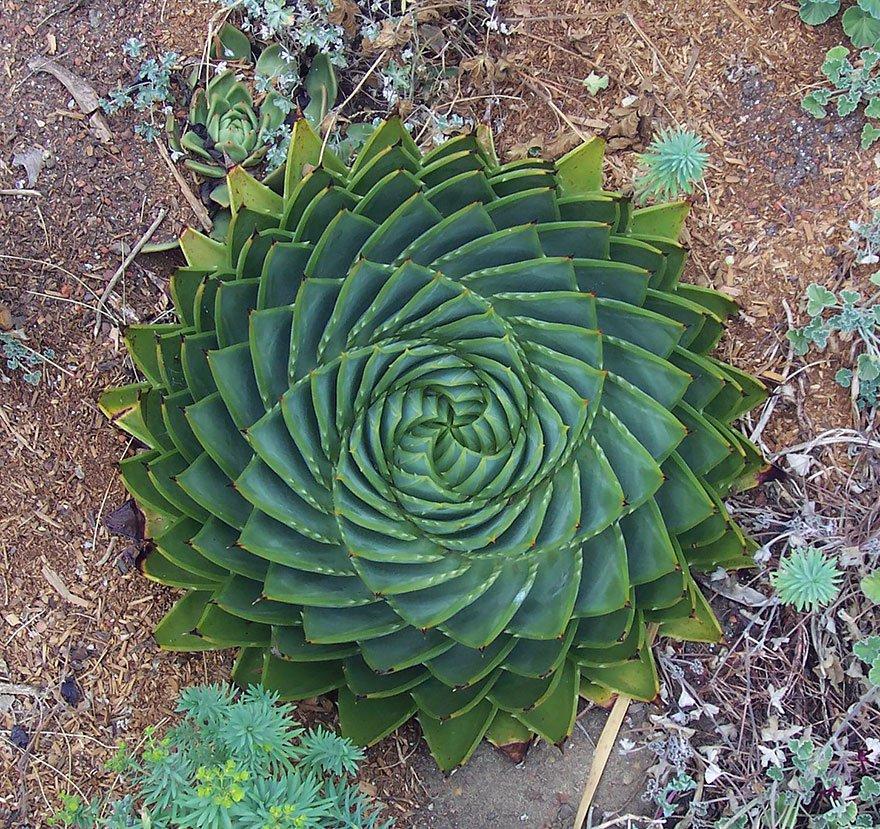 2-aloe-polyphylla-o-espiral
