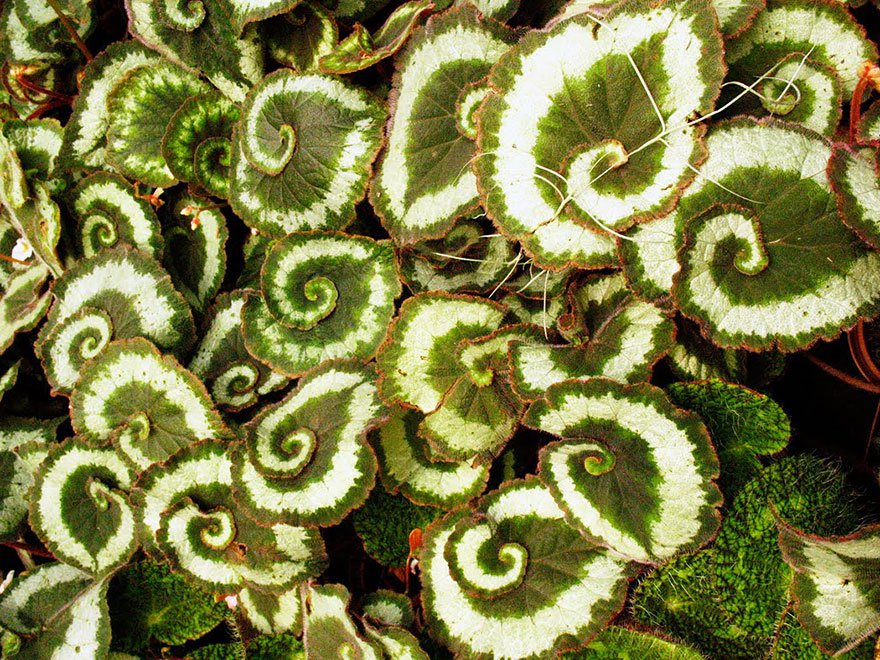 21-begonia-escargot