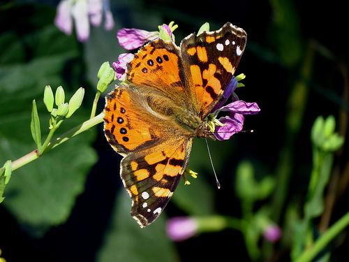 Mayor presencia de mariposas en Santiago