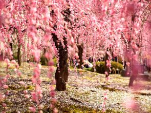 floracion-de-los-cerezos-japon-2