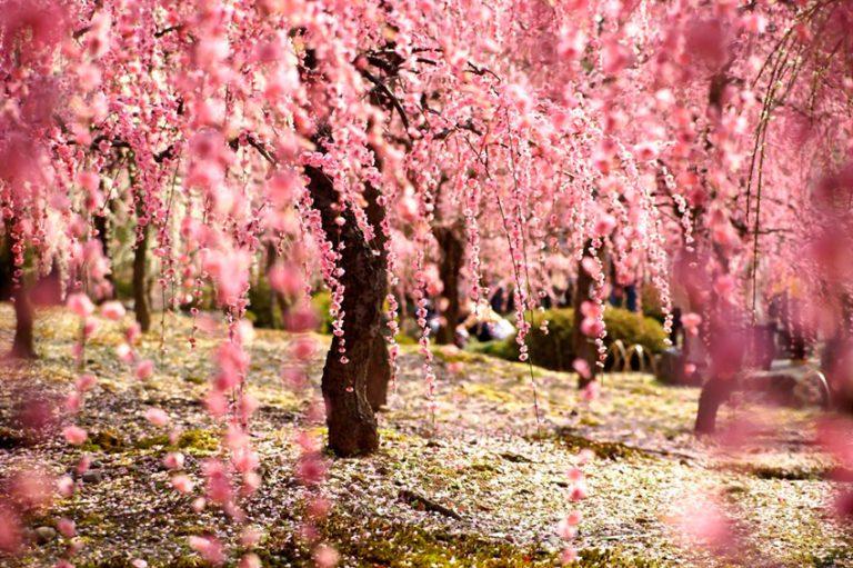 El espectaculo de la Floración de los Cerezos en Japón