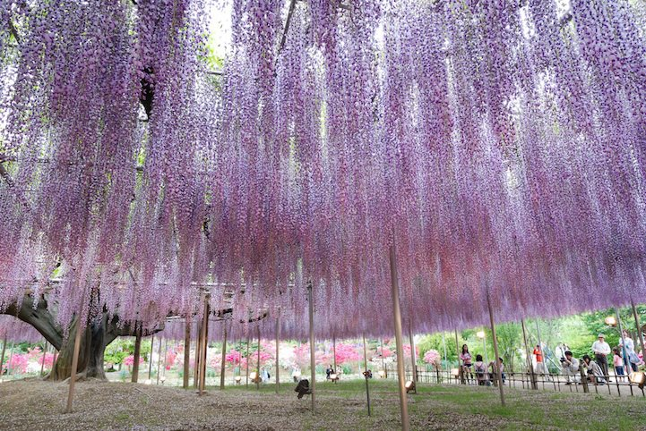 _the_most_beautiful_tree_wisteria_