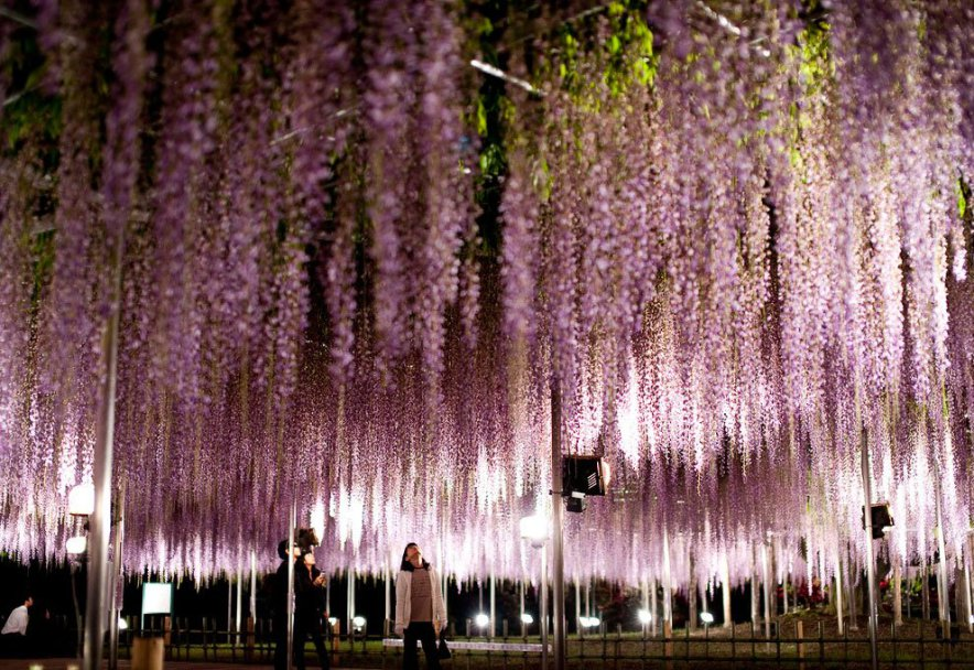 _the_most_beautiful_tree_wisteria_10