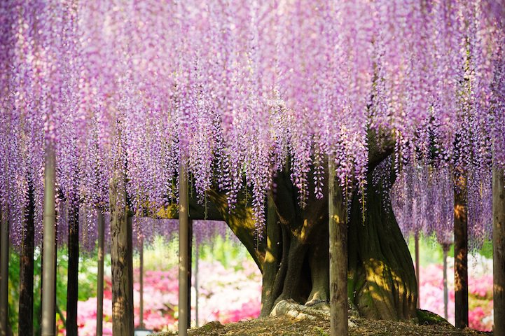 _the_most_beautiful_tree_wisteria_2