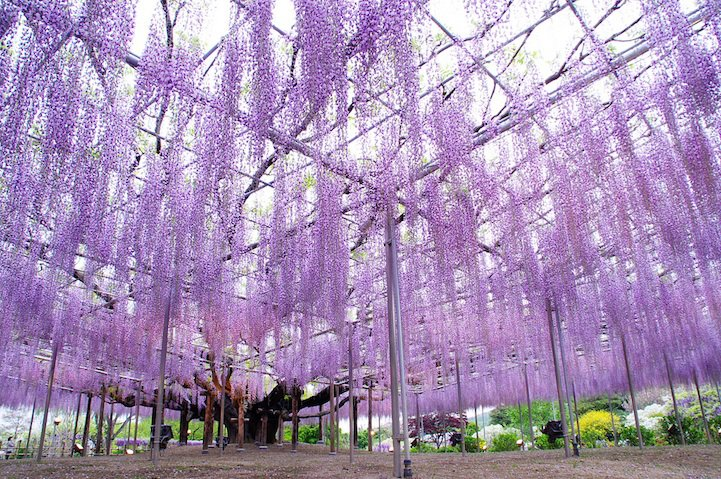 _the_most_beautiful_tree_wisteria_5