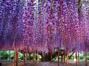 _the_most_beautiful_tree_wisteria_7
