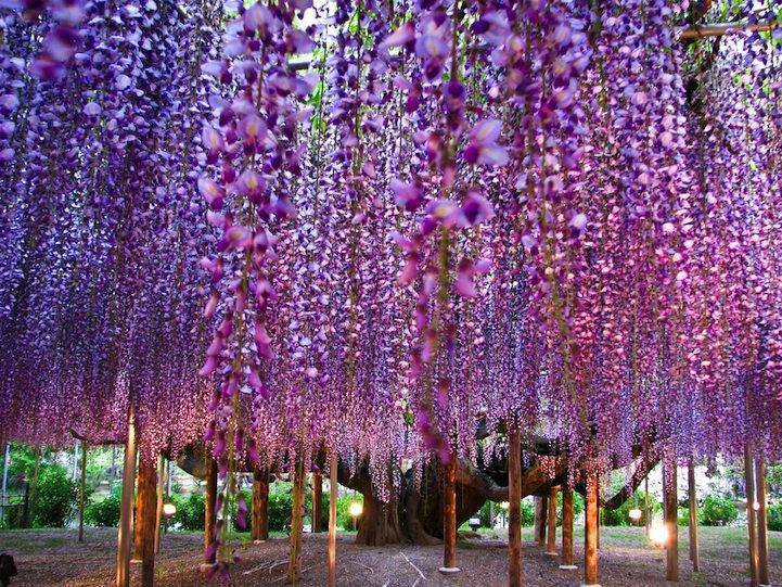 El Árbol Wisteria más bonito del mundo