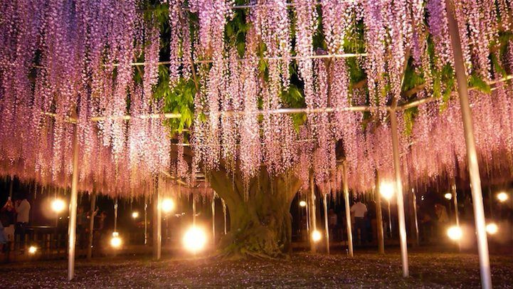 _the_most_beautiful_tree_wisteria_8