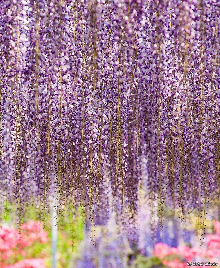 _the_most_beautiful_tree_wisteria_9
