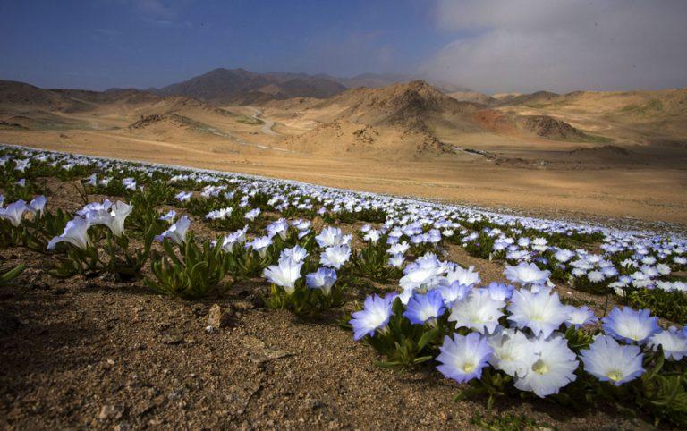 El desierto florido de éste año podría ser el más grande de la historia