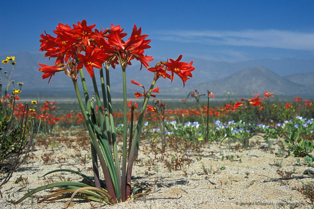 Rhodophiala phycelloides is an endemic plant of Chile.