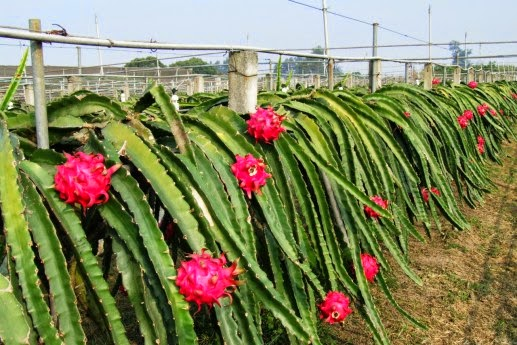 dragon-fruit-6