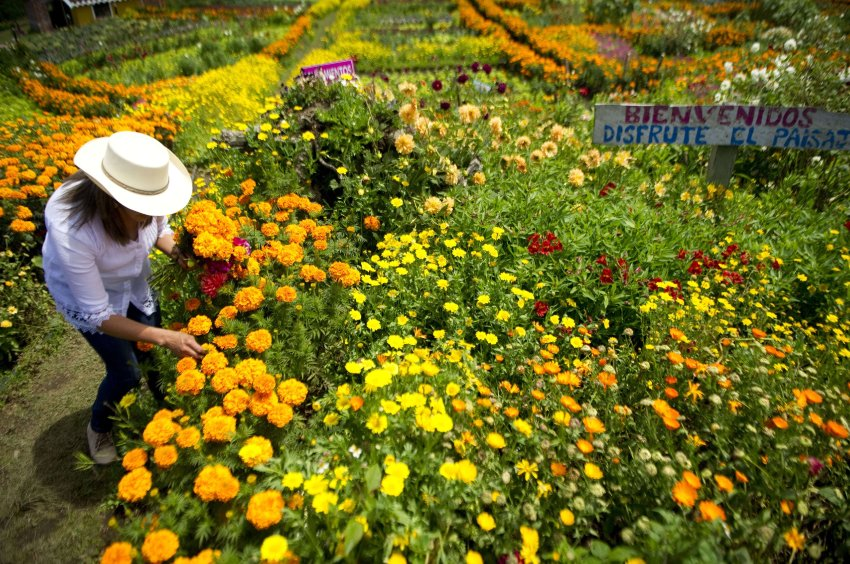"Colombian Ana Fabiola Ramirez collects flowers to prepare her traditional ""Silleta"" (a traditional flower arrangement) in a farm in Santa Helena municipality, Antioquia department, Colombia on August 10, 2013, on the eve of the traditional ""Silleteros"" Parade within the Flower Festival. AFP PHOTO/ Raul ARBOLEDA"
