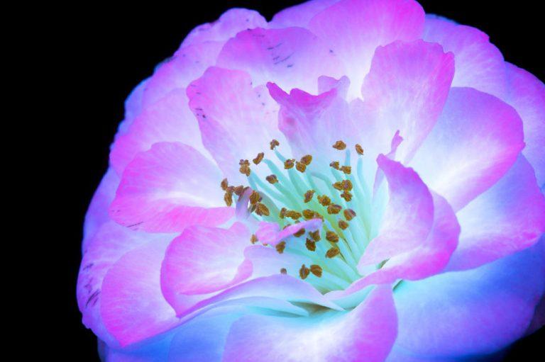 El retrato de la luz invisible que emiten las flores por Craig Burrows