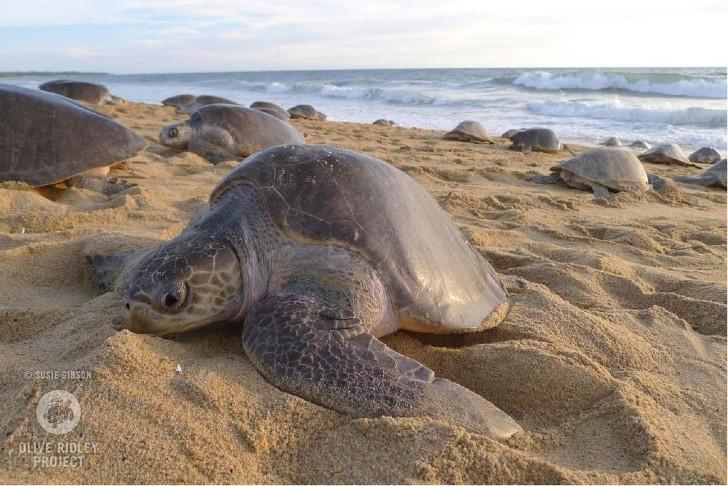 Cuarentena permite a tortugas volver a las playas para desovar: los humanos ya no les harán daño