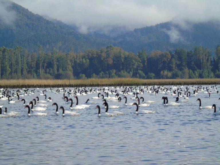 Récord de cisnes de cuello negro en Santuario de la Naturaleza Río Cruces y Chorocamayo