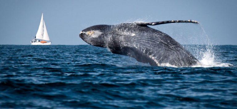 """""""The Blue Bote Iniciative"""" gran iniciativa para proteger a las ballenas"""